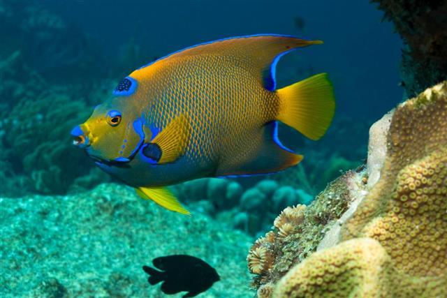 queen angelfish in water