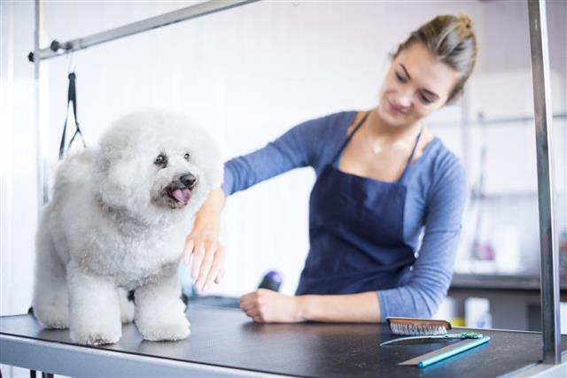 female dog groomer brushing a bichon frise dog