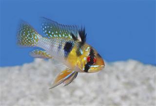 Ram Cichlid fish