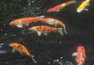 Bekko Koi fish