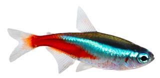 Neon Tetras fish