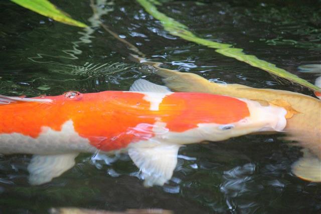 GinRin Kohaku Koi fish