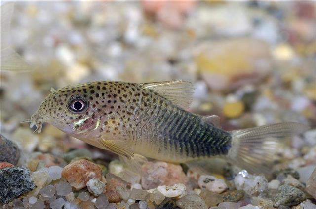 Corydoras Sterbai fish