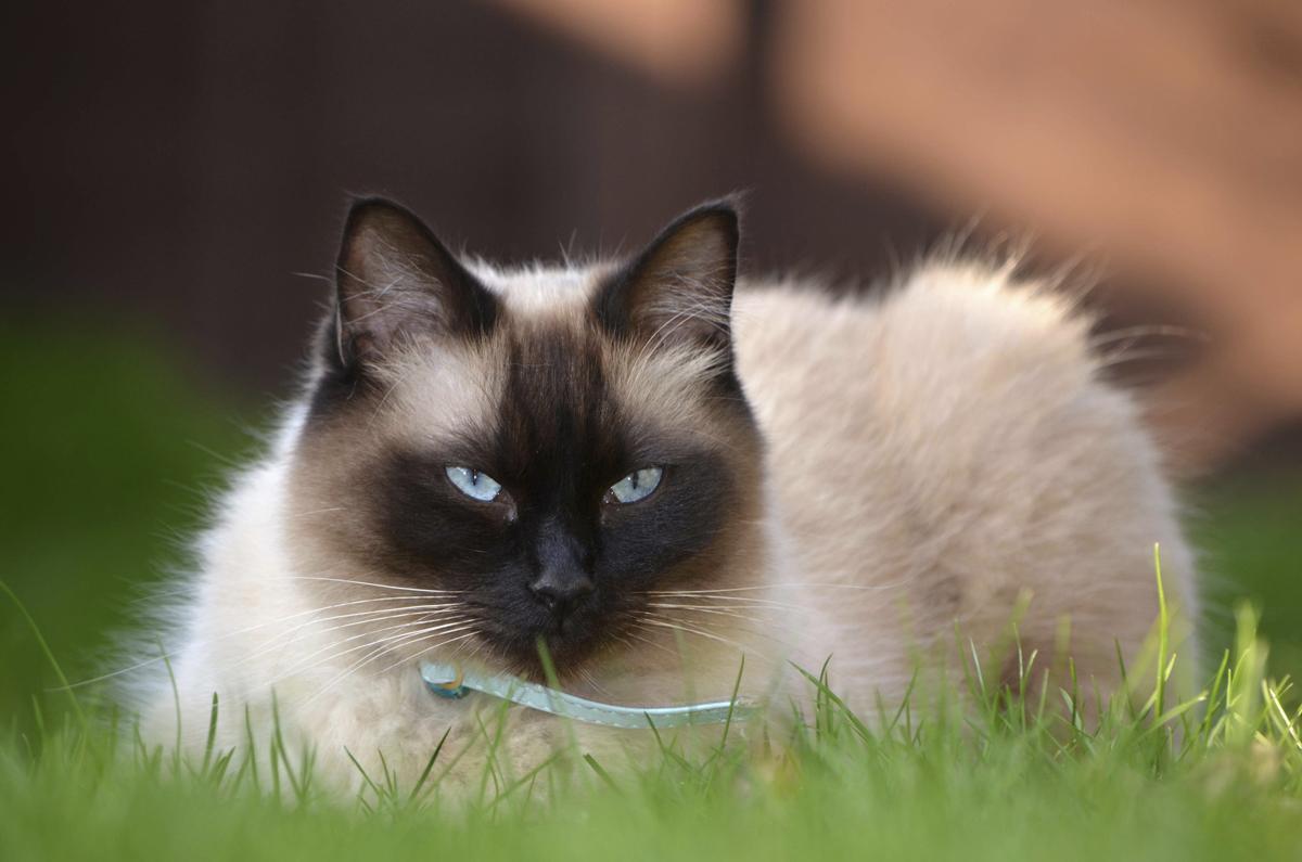 1200-37427470-ragdoll-cat.jpg