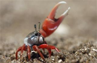 Fiddler Crab ( Uca uruguayensis )