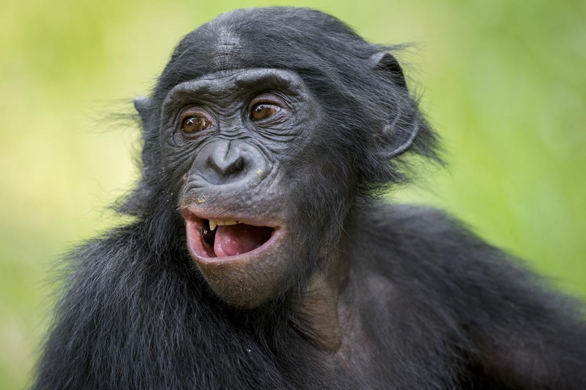 What Do Jaguars Eat >> Chimpanzee Adaptations
