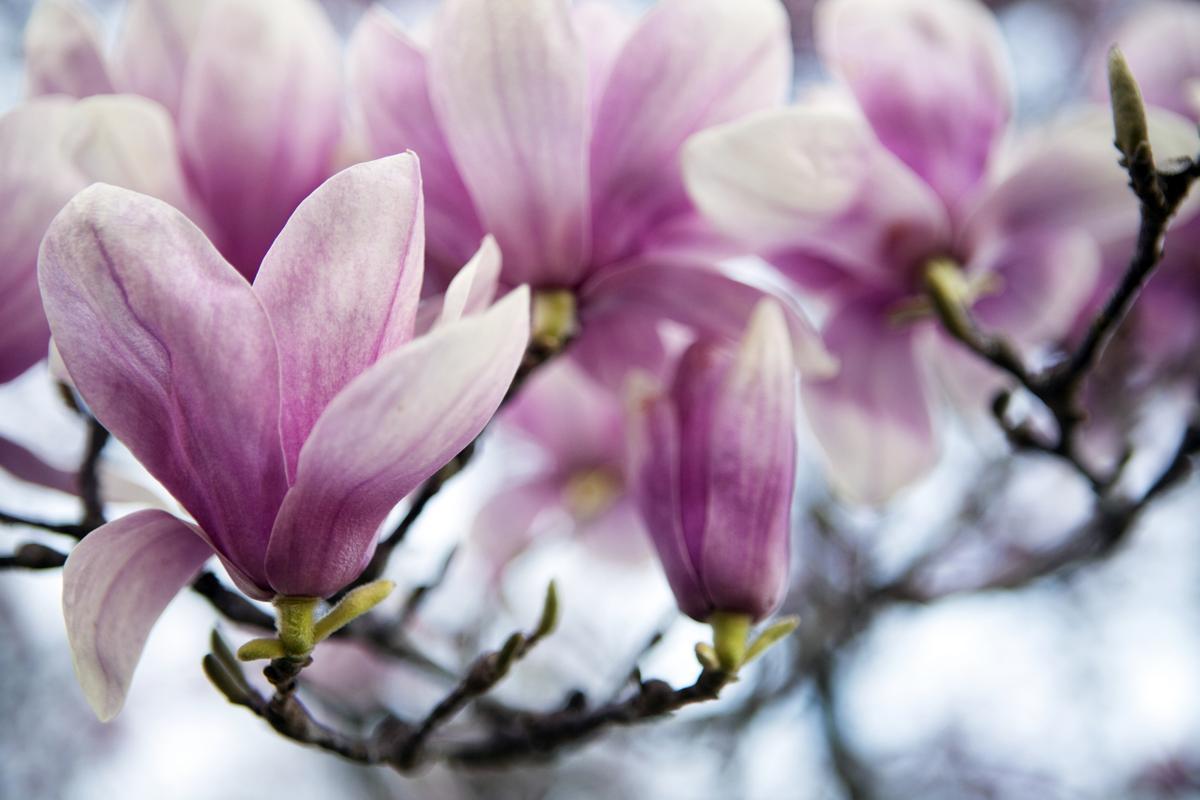 Tulip Tree Facts