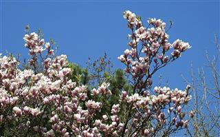 Tulip tree flowers