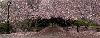 Tulip tree in blossom