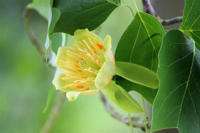 Image of cream flower on American tulip tree (Liriodendron tulipifera)