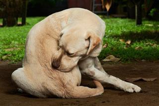 Dog scratching skin