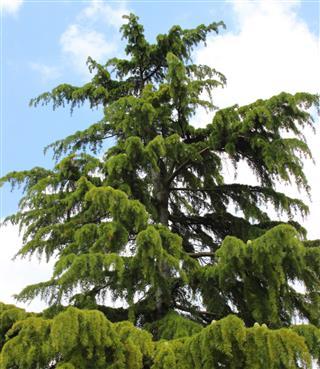 Image of tall deodar cedar tree