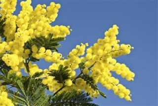 Mimosa tree