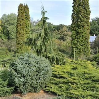 Garden of coniferous trees