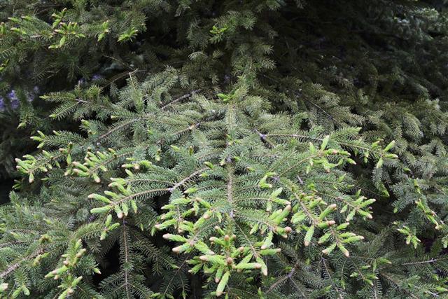 White Spruce Tree Branch