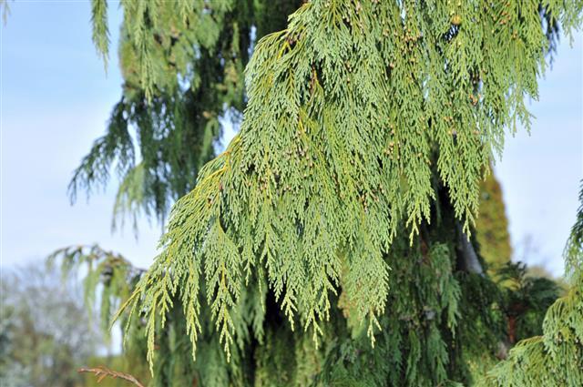 Weeping Cypress Cupressus nootkatensis