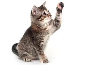 Tabby kitten swinging its paw