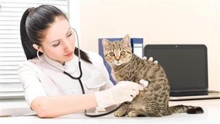 Vet listens to kitten of breed of scottish straight