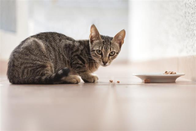 Tabby kitten eating from a bowl outside