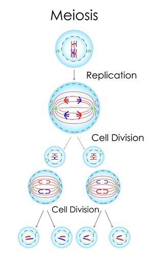 meiosis concept