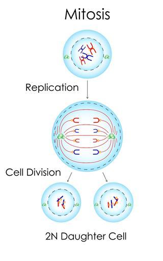 Mitosis concept