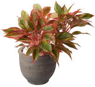 aglaonema in flower pot