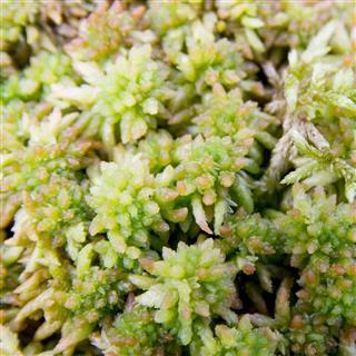 Sphagnum Moss (S. papillosum)