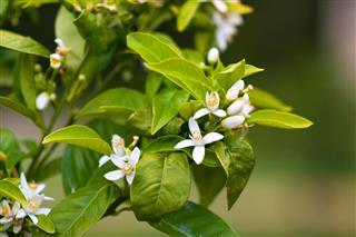 White blossoms of orange tree