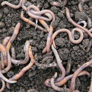 Earthworms closeup