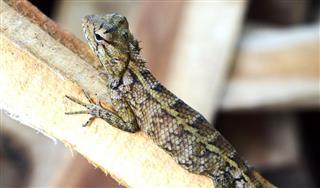 Lizard - Native Sri Lankan Lizard