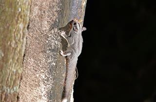 Sugar glider glide on tree