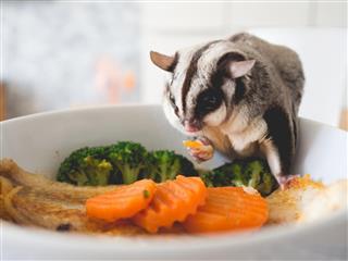 Sugar glider eating vegetables