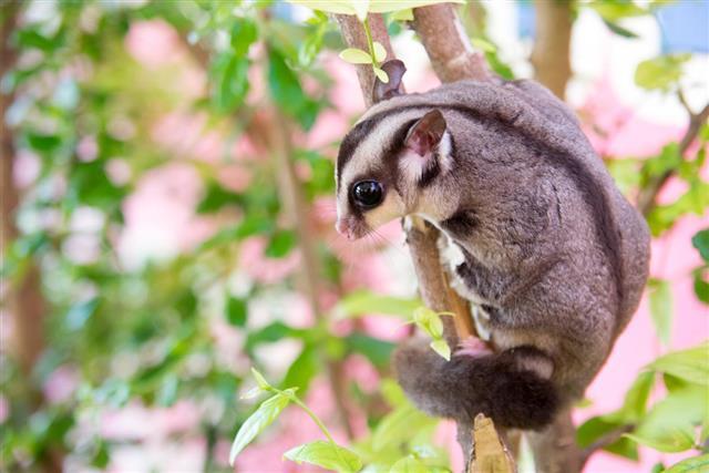 Sugar glider climb on tree