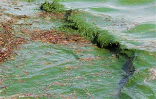 一个有害的海藻盛开的特写图像