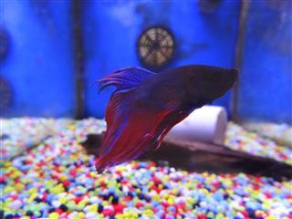 Blue, purple, red Siamese fighting fish
