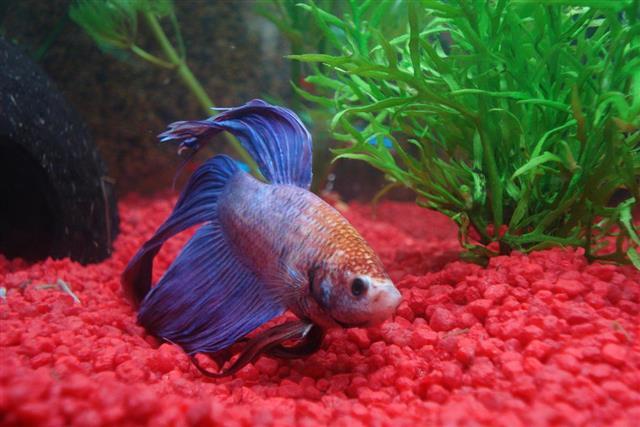 Fighter fish calm down