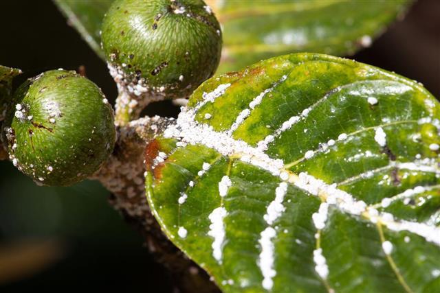 Home Remedies to Kill Mealybugs - Gardenerdy - photo#28