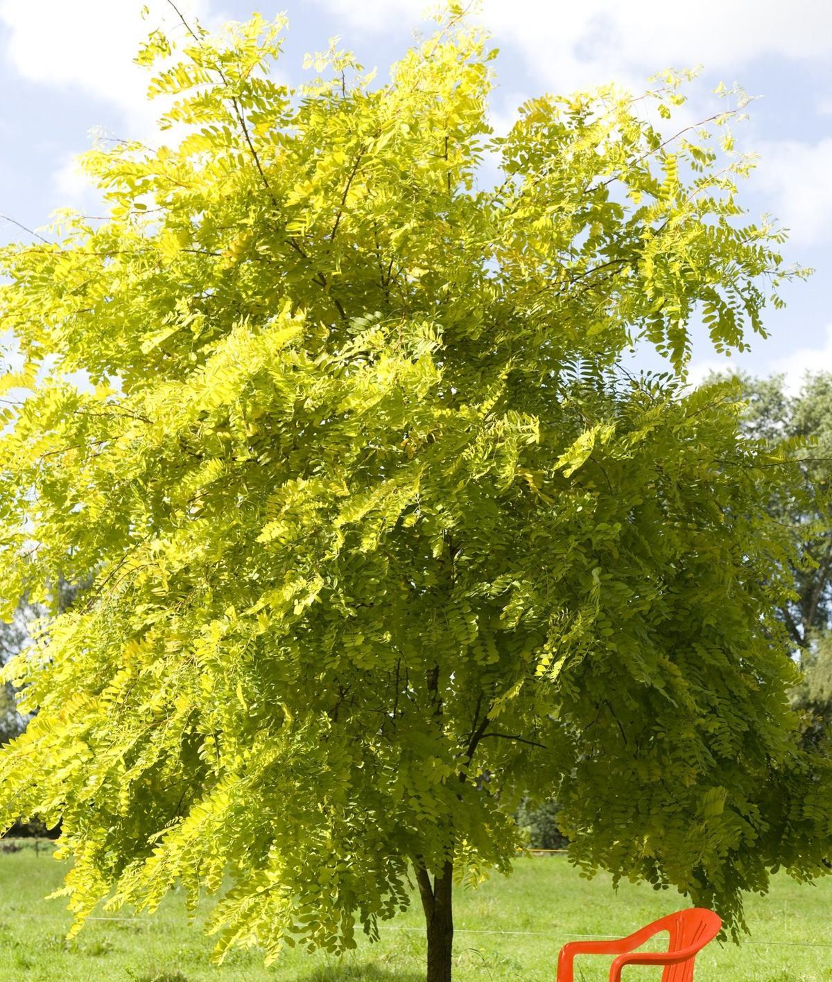 How To Grow Acacia Trees