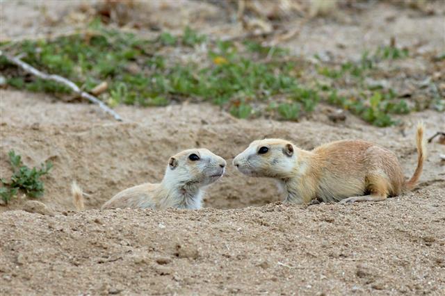 Juvenile Prairie Dogs