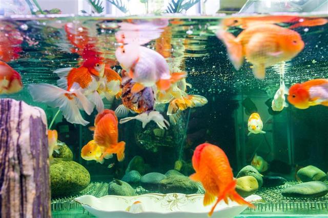 Goldfish feeding time and enjoy favorite food