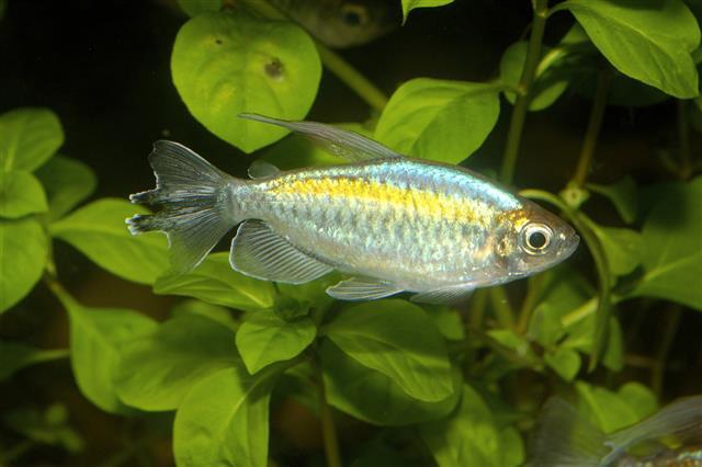 Phenacogrammus fish