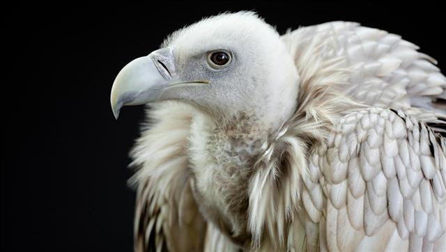 Himalayan Griffon Vulture (Gyps himalayensis)