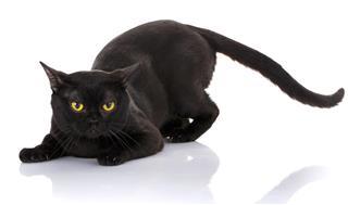 black cat Bombay on a white background sat