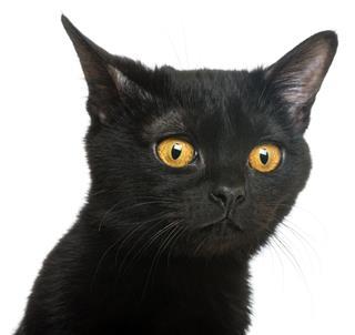 Bombay kitten looking