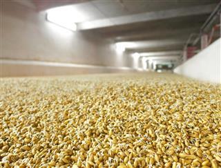 Barley at Beer Factory