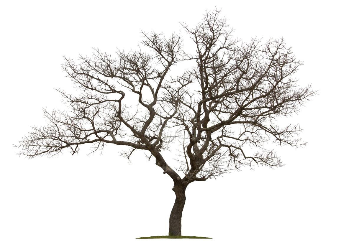 How to save a dying tree for Arboles de hoja caduca