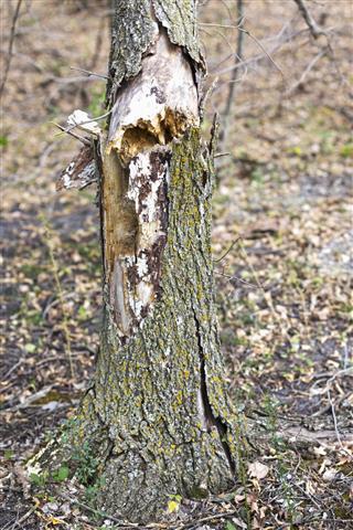 Dead Elm Tree