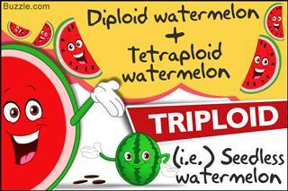 Genetically modified watermelon