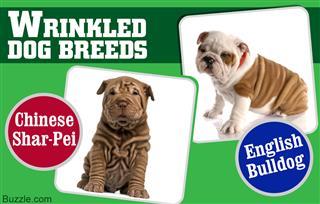 Wrinkled Dog Breeds