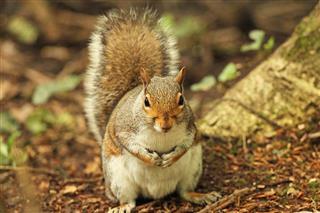 gray squirrel bushy tail ground